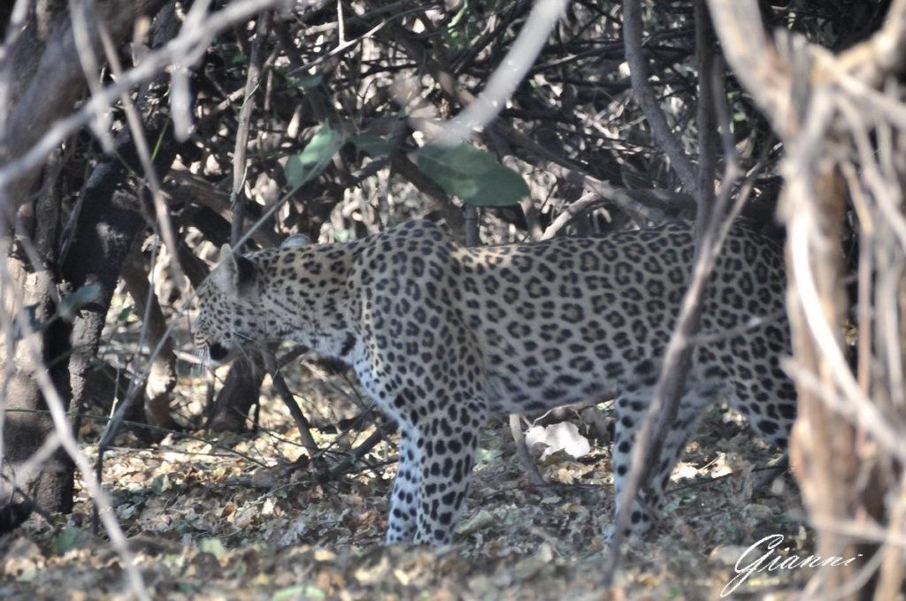 Il primo nostro leopardo nel Chobe