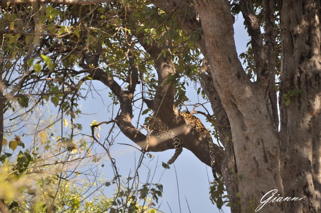 Leopardo sull'albero