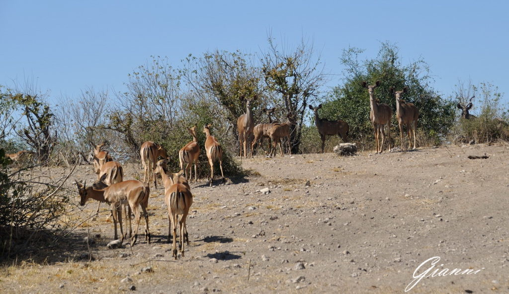 Mandria di impala