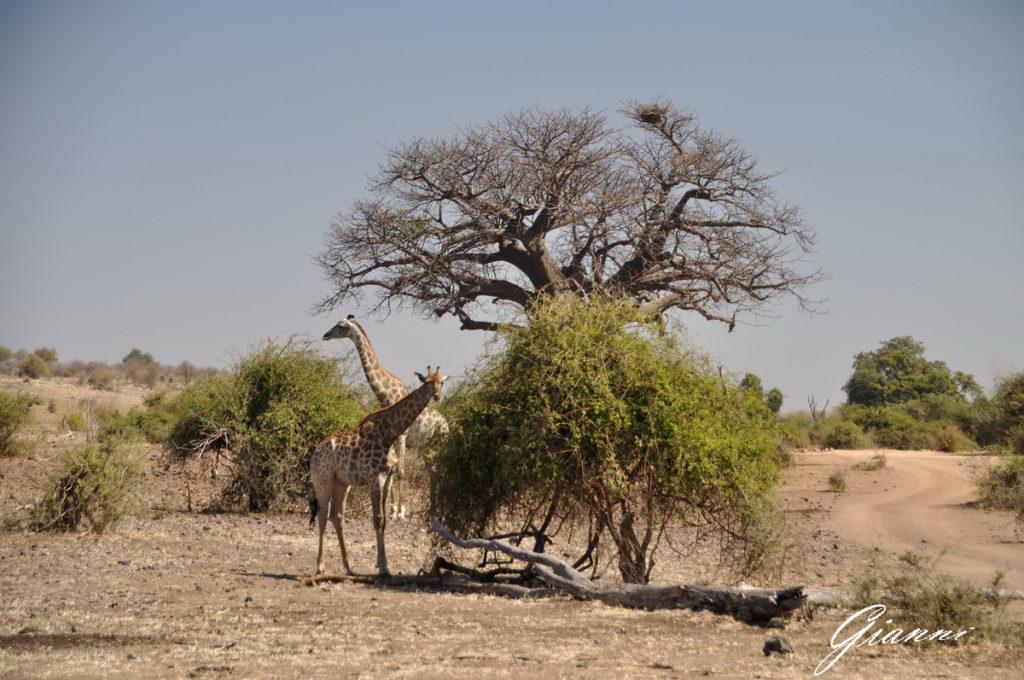 Giraffe al pascolo