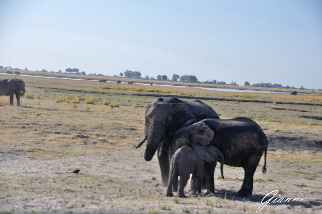 Famigliola di elefanti