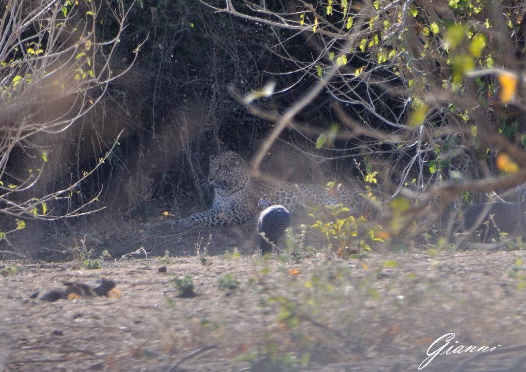 Leopardo di guardia alla sua preda