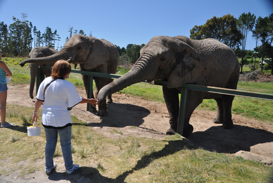 Elefanti a Knysna