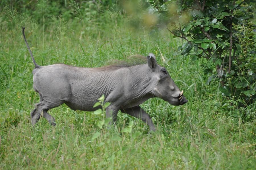 Facocero nel Kruger National Park