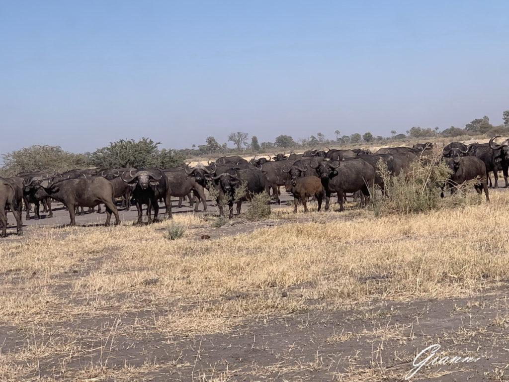 Branco di bufali