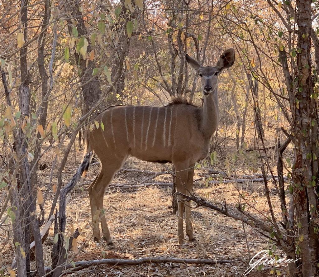 Kudu femmina