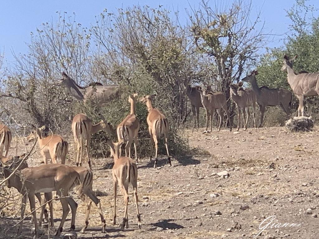 Impala nel Chobe