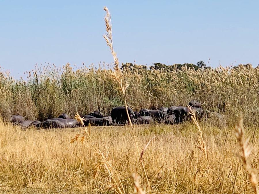 Ippopotami nel Delta dell'Okavango