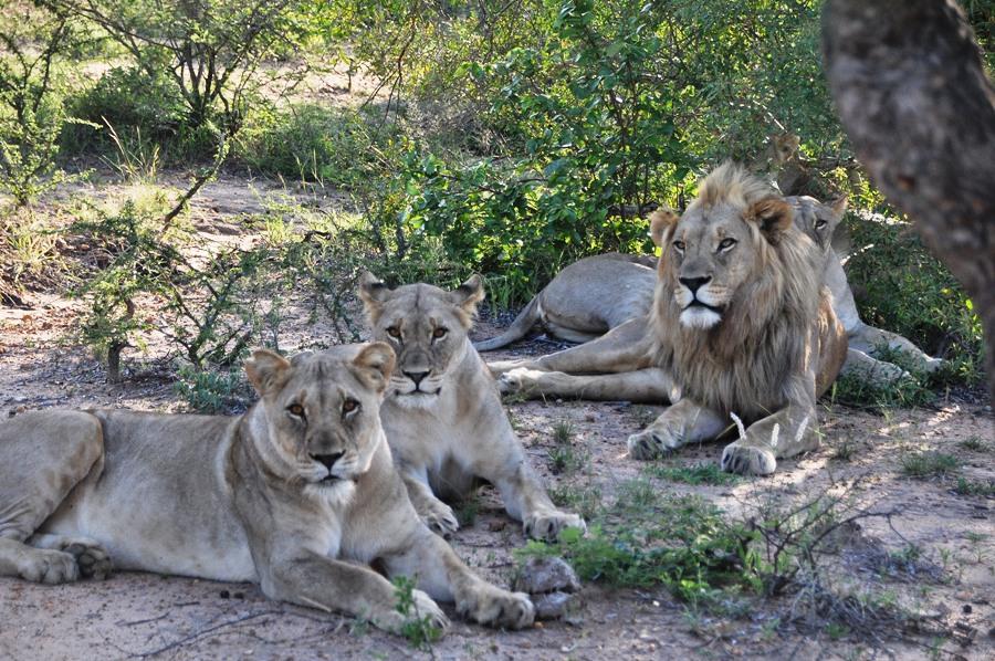 Leoni nel Kruger National Park