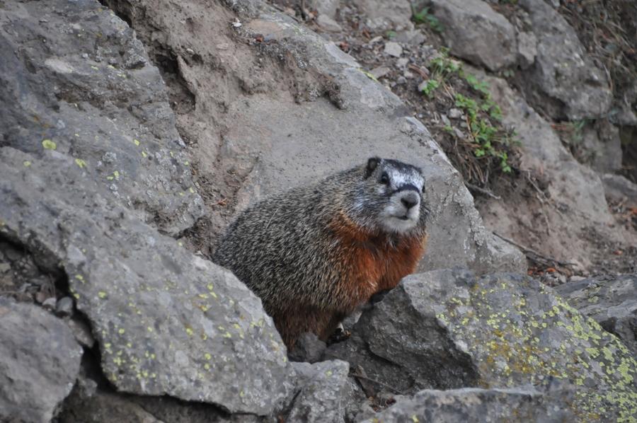 Marmotta a Yellowstone