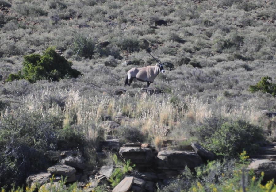 Orice nel Grande Karoo