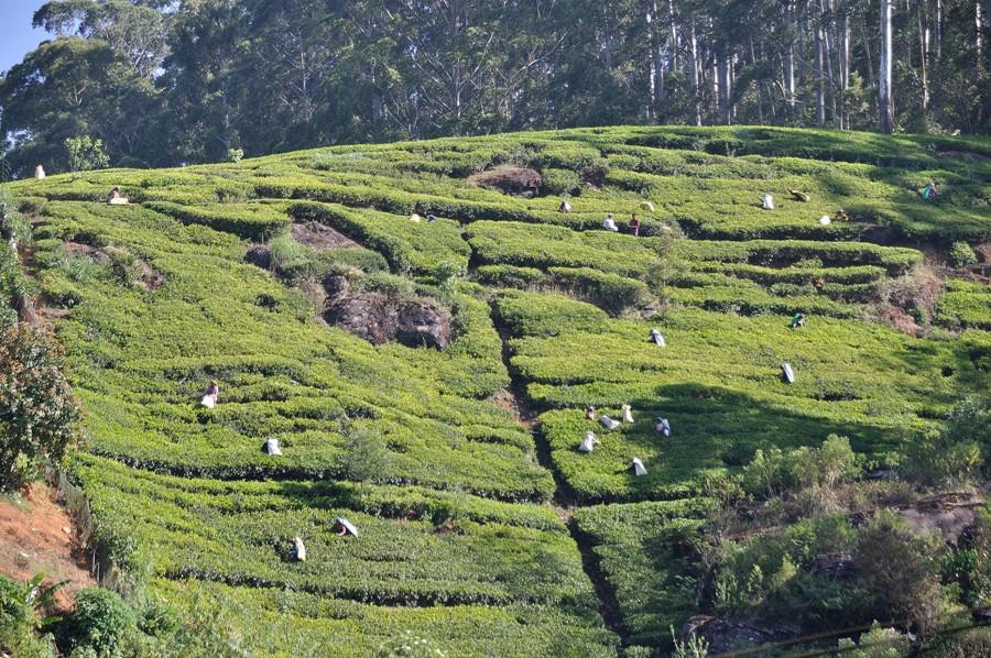 Piantagioni di thè