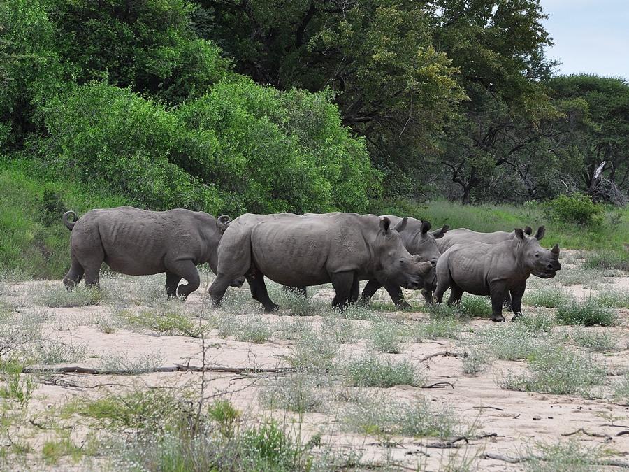Rinoceronti Kruger National Park