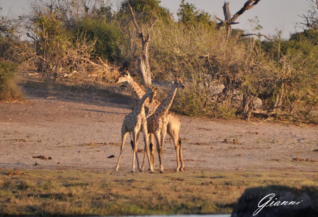 Famigliola di giraffe