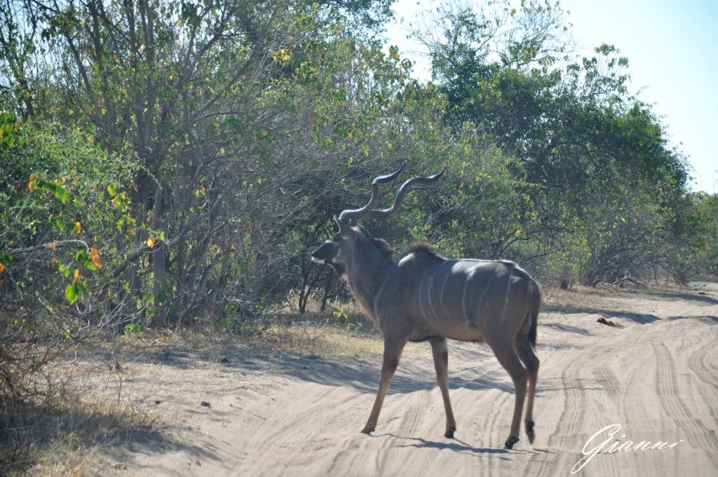 Kudu maschio