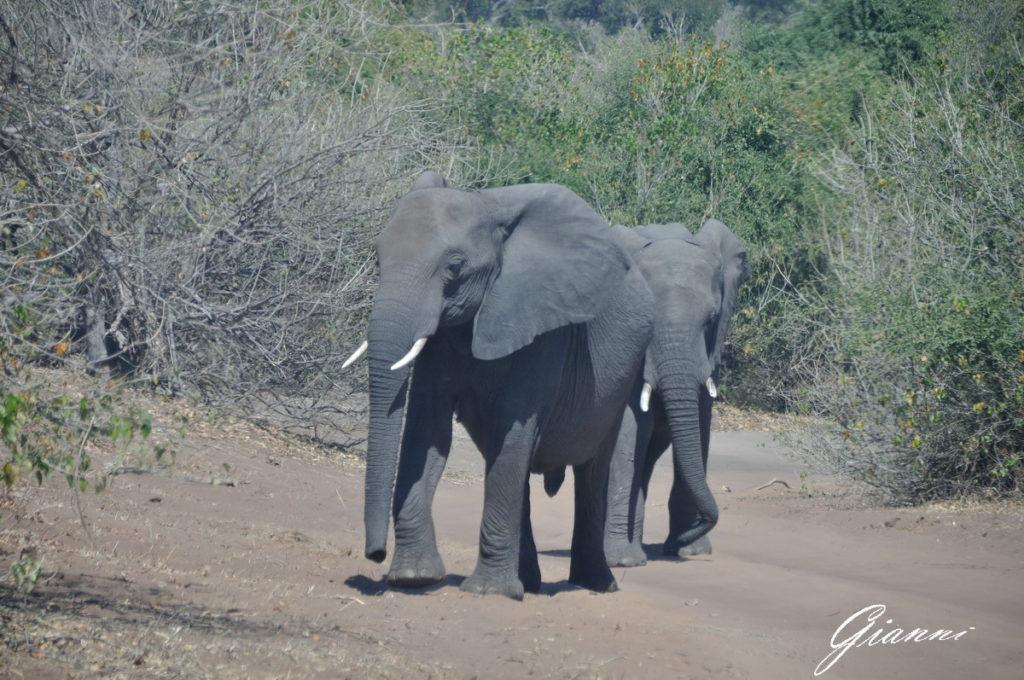 Elefanti in transito