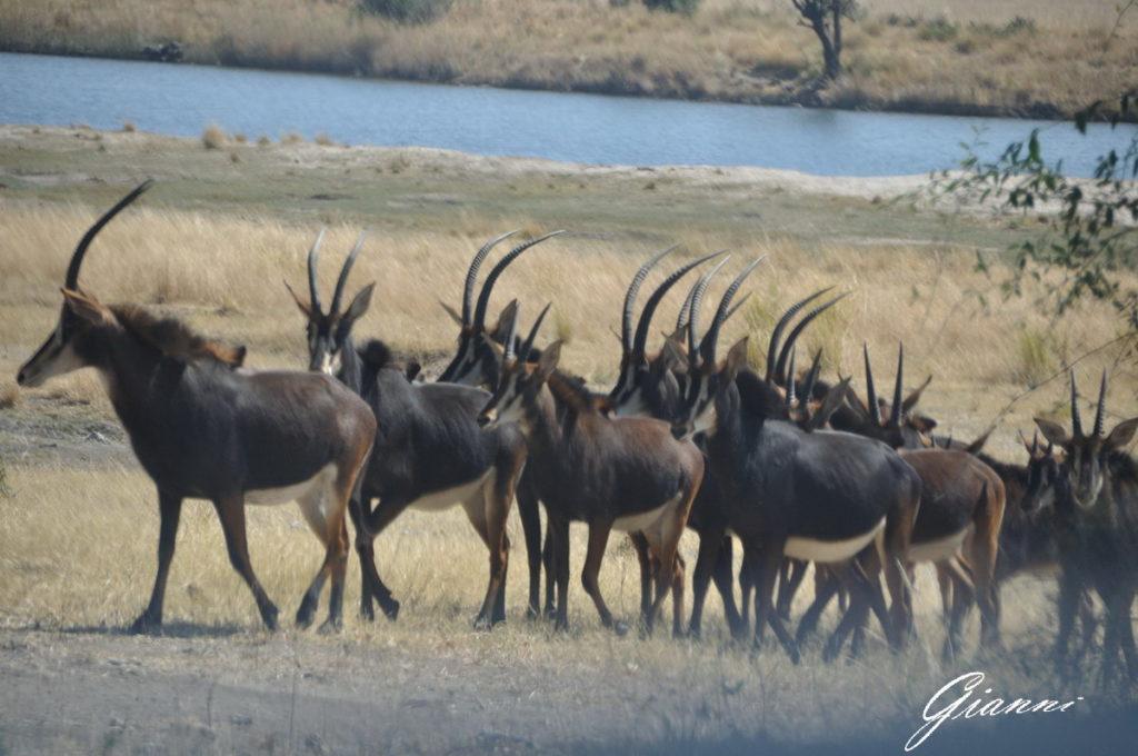 Branco di Antilope nera