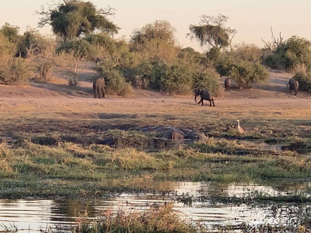 Ippopotami ed elefanti