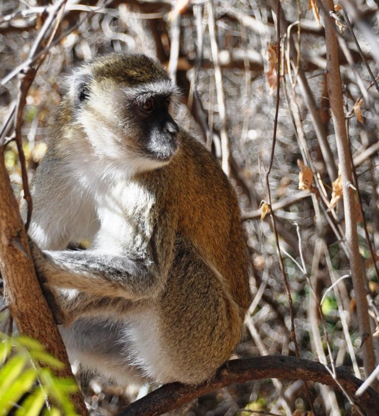 Una scimmietta alle Victoria falls