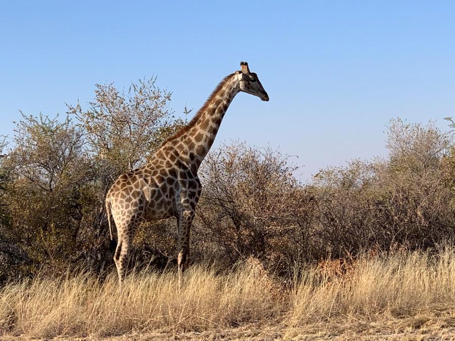 Botswana giraffa