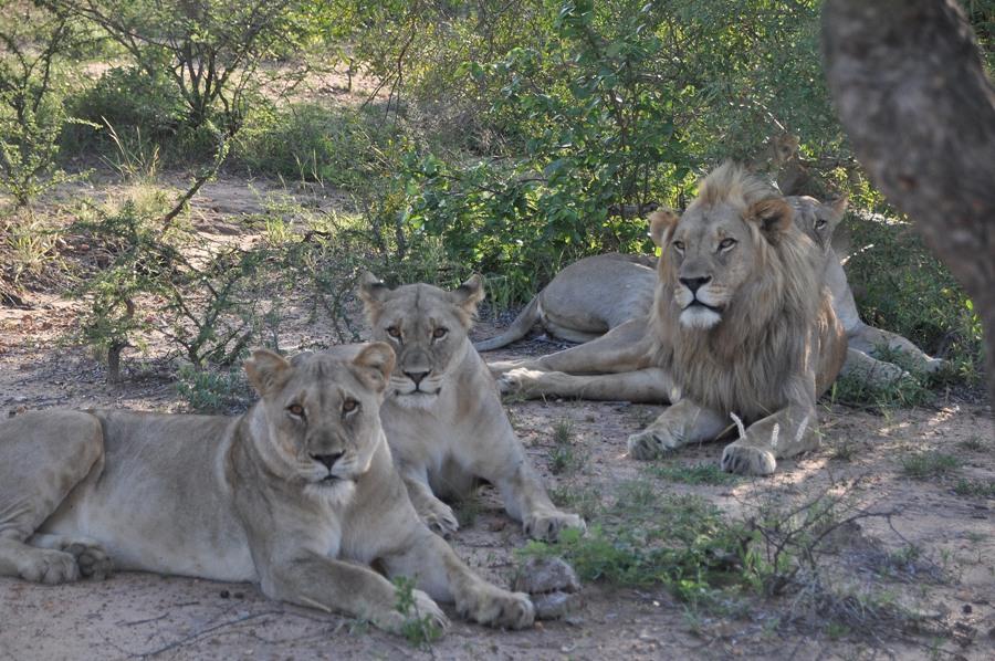Un gruppo di leoni nel Kruger National Park