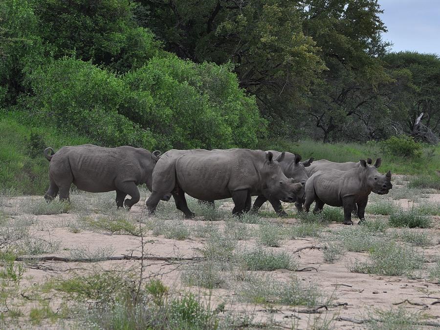 Rinoceronti nel Kruger