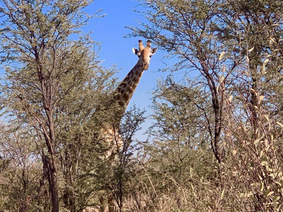 Giraffa nel Makgadikgadi National Park