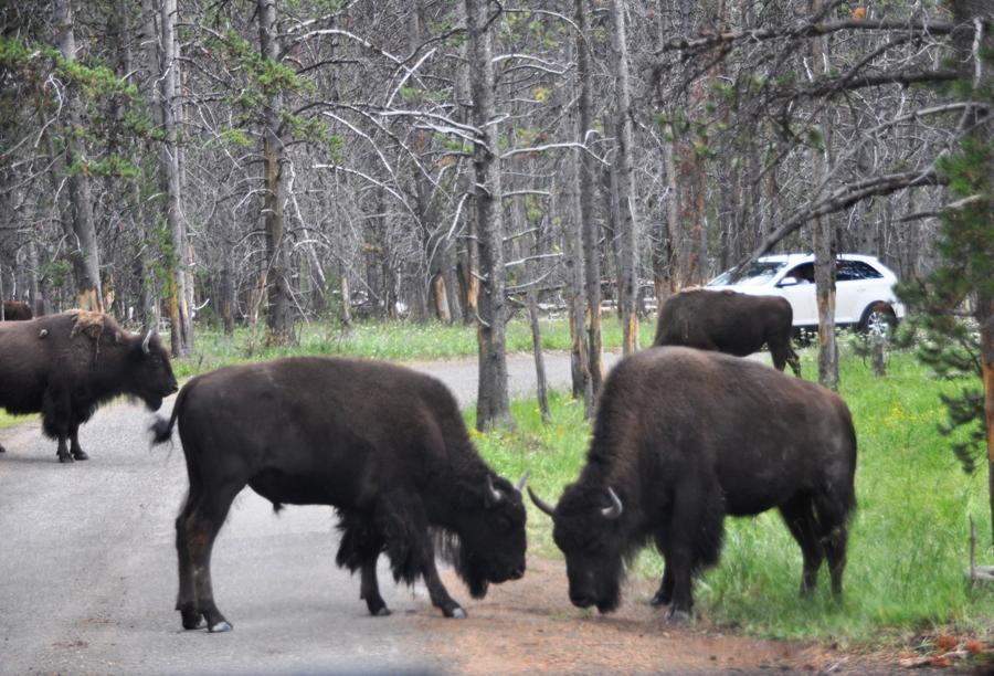 Gruppo di bisonti a yellowstone