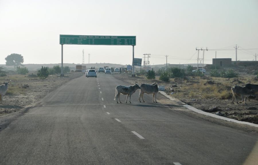 Mucche in autostrada