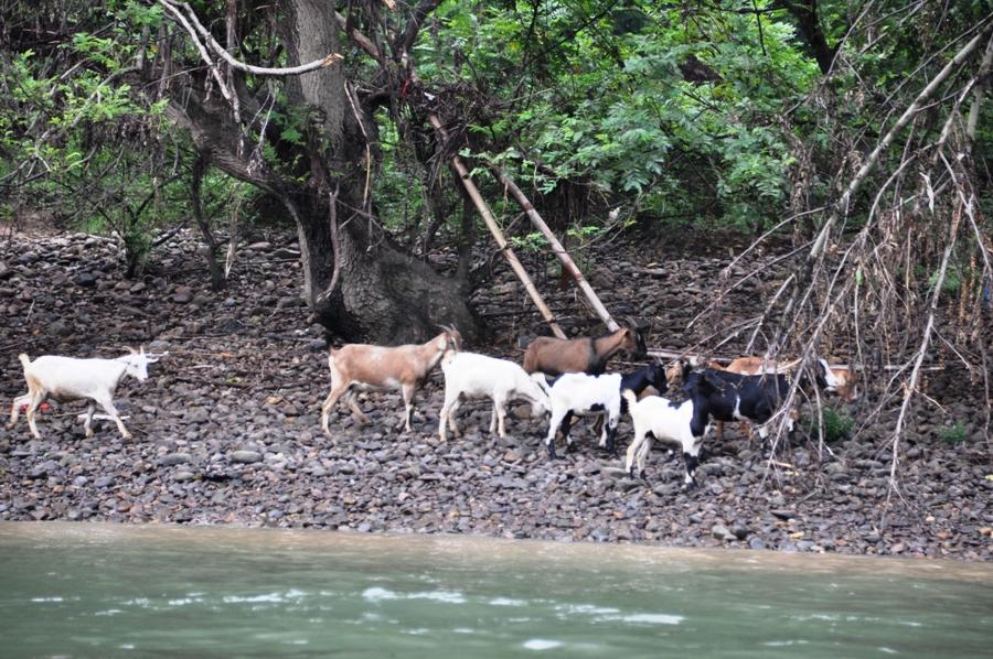 Caprette sulla riva del fiume
