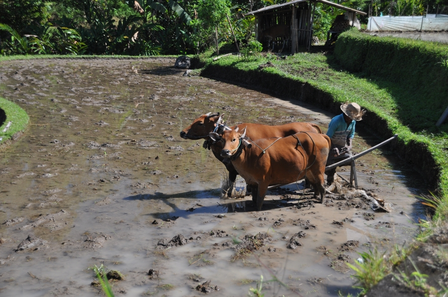 Le risaie a terrazza di Bali
