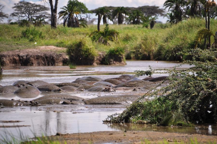 Schiene di ippopotami nel fiume