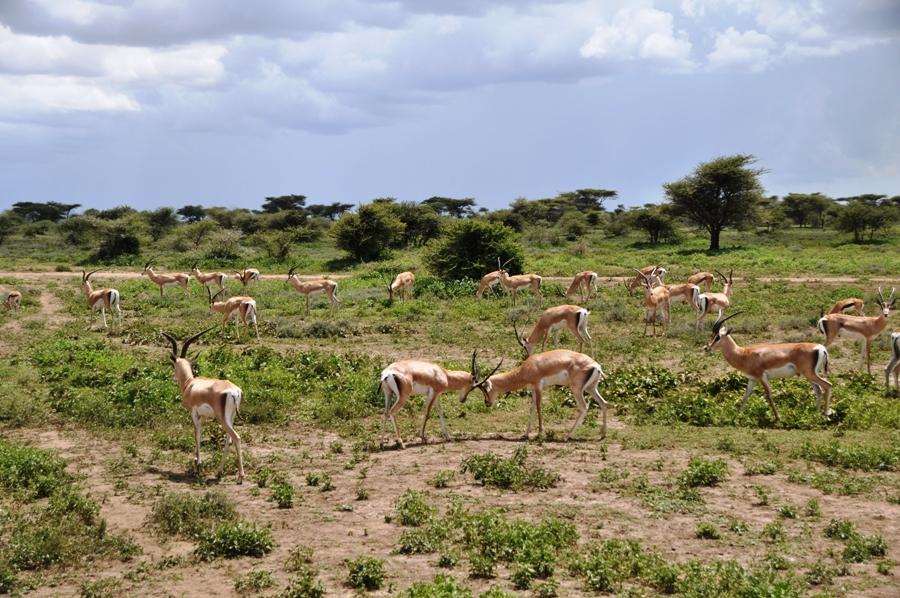 Un gruppo di impala