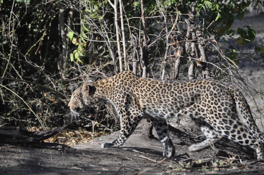 Leopardo nel Chobe