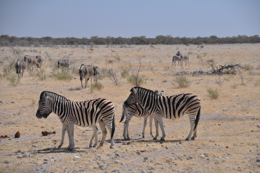 Zebre nel parco di Etosha