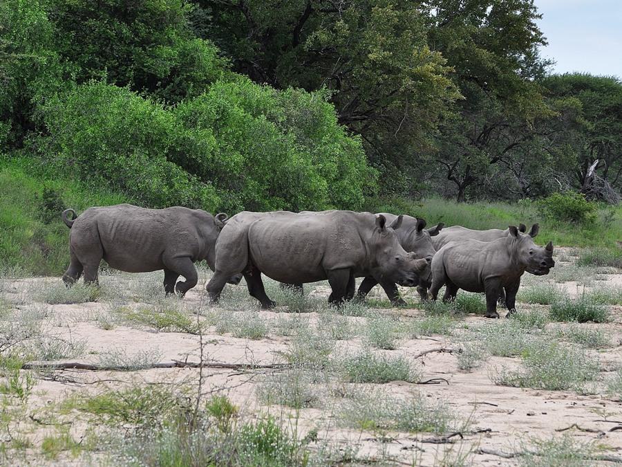 Rinoceronti nel Kruger National Park