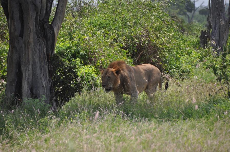 Giovane leone a Tsavo Est