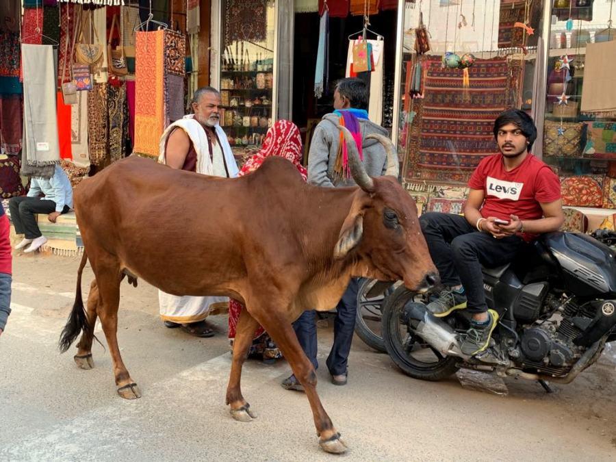 Una mucca a zonzo