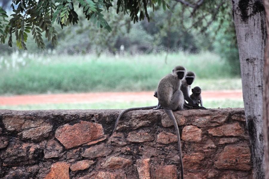 Scimmiette nei pressi del lodge