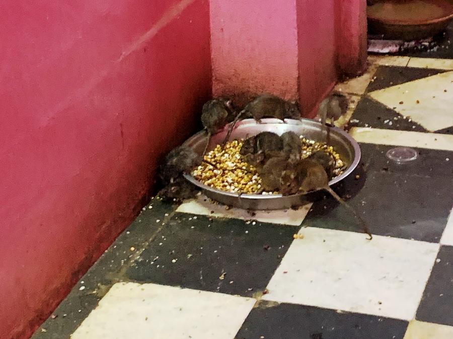 Una ciotola con il cibo per i topi