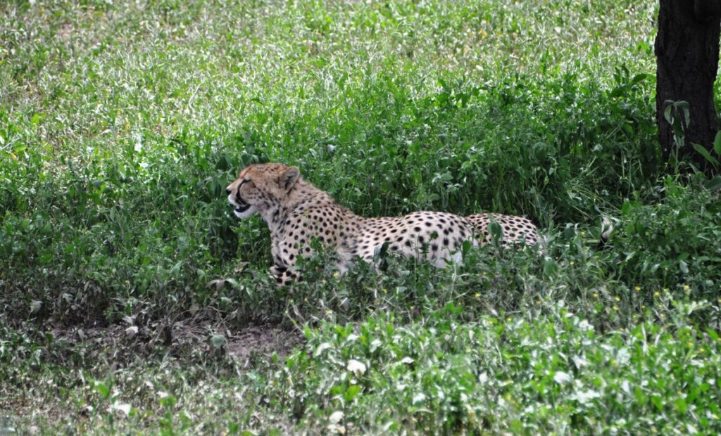 Ghepardo nel Serengeti