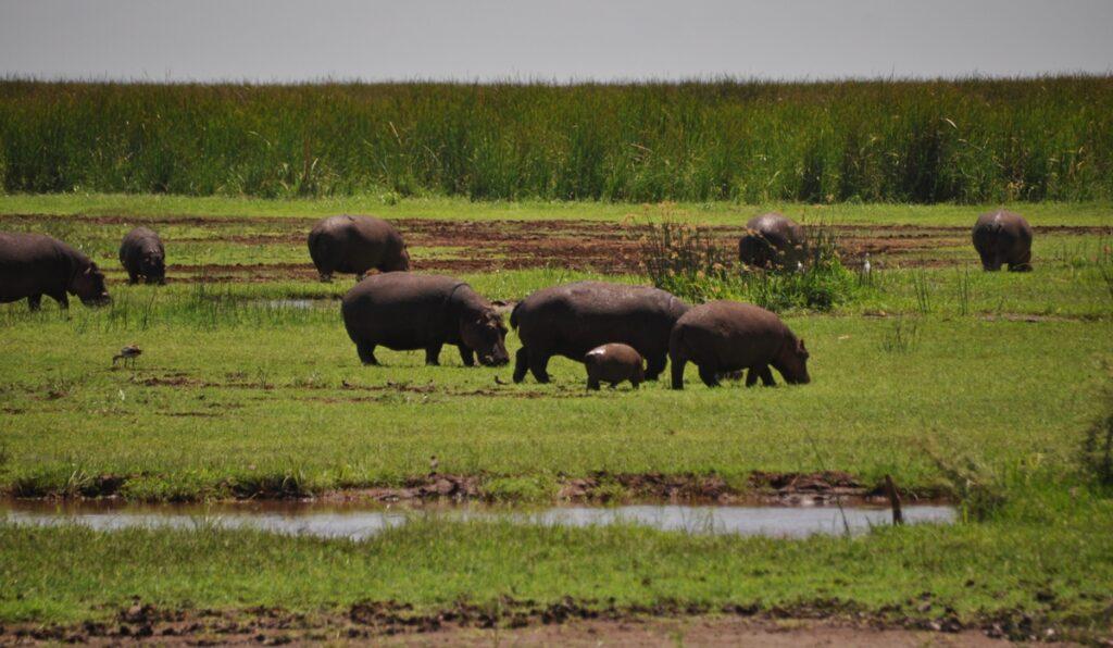 Ippopotami nel Lake Manyara