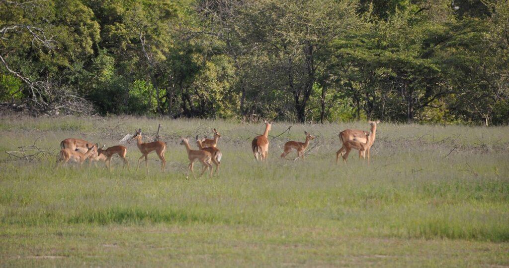 Gruppo di gazzelle