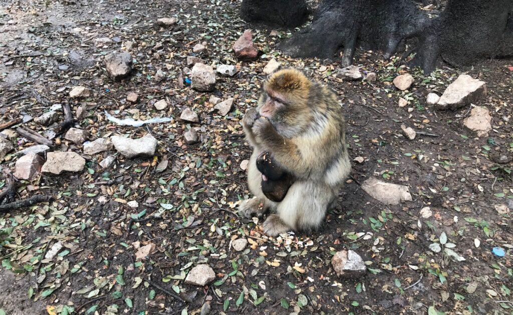 Scimmietta ad Azrou