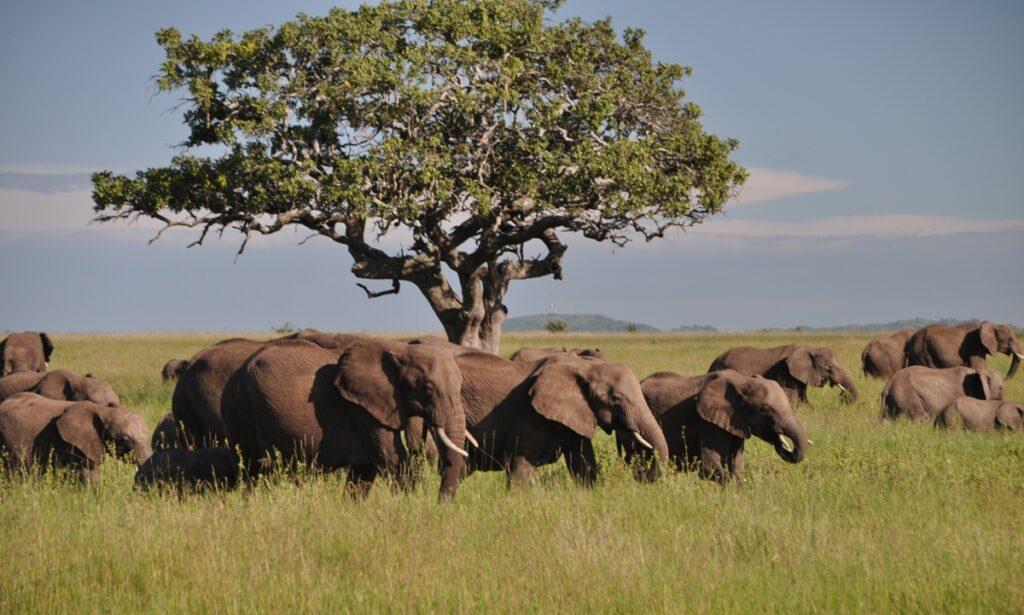 Mandria di elefanti nel Serengeti