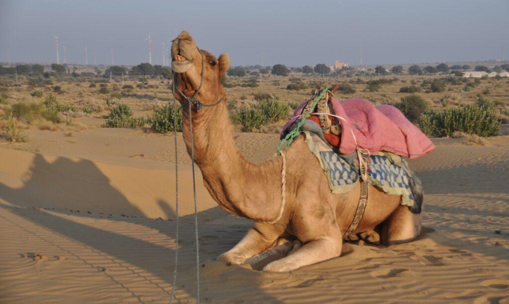 Dromedario nel Deserto del Thar