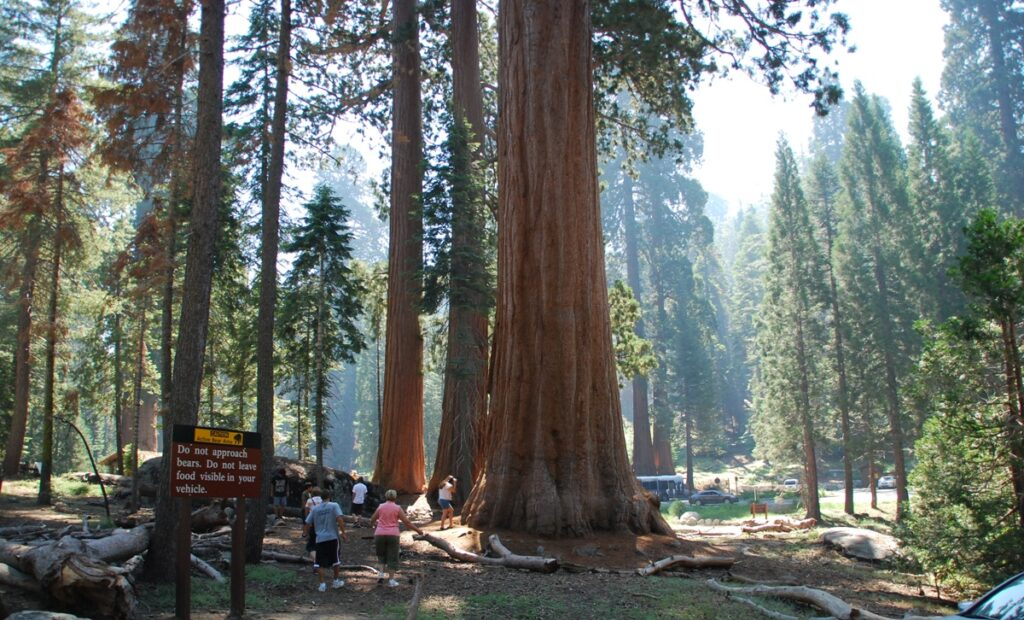 Sequoie vicino al parcheggio