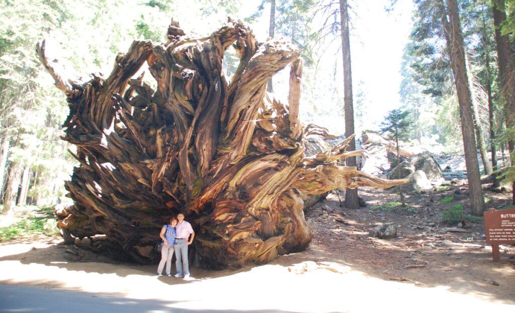 Sequoia caduta